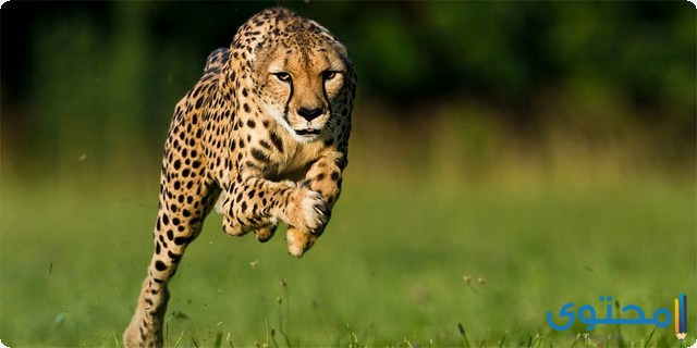 أسرع حيوان في العالم وكم تبلغ سرعته موقع محتوى