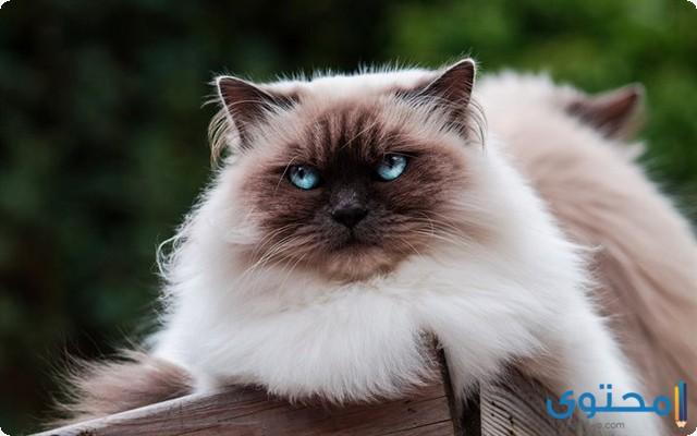 أسعار القطط السيامي الصغيرة والكبيرة