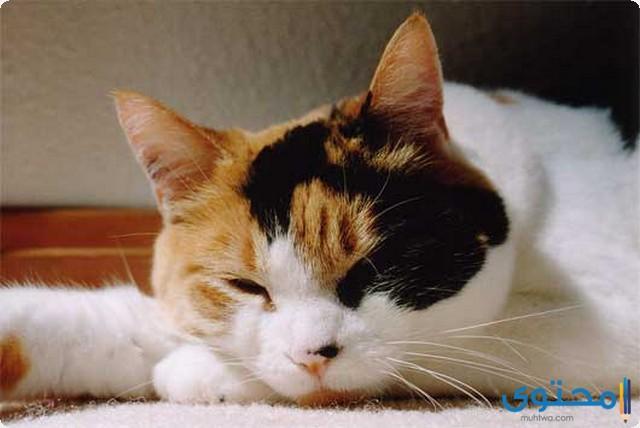 أسعار القطط الكاليكو