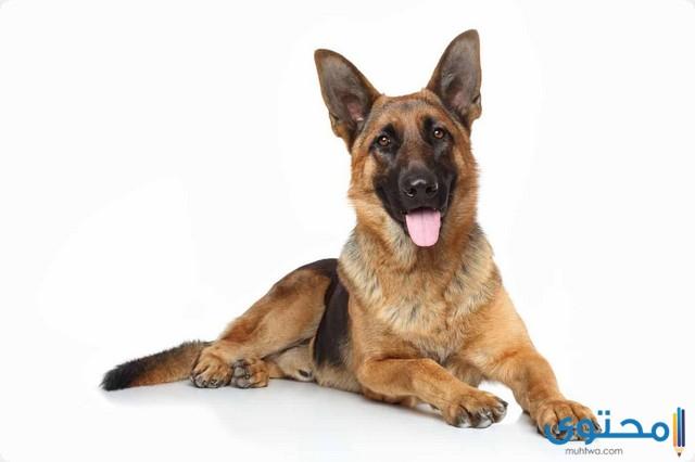 أسعار الكلاب الجيرمن الصغيرة والكبيرة 2021