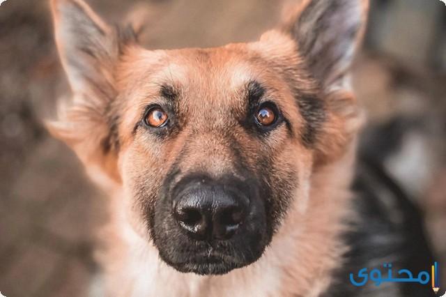 أنواع الكلاب الجيرمن