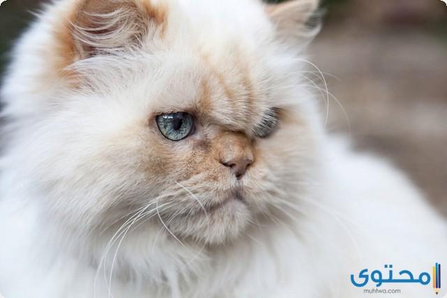 أشهر انواع القطط في العالم
