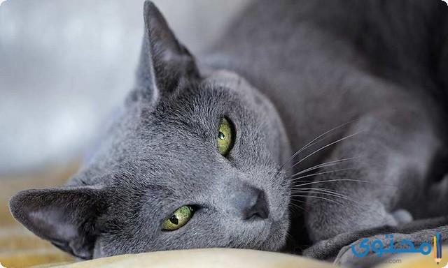 أشهر انواع القطط
