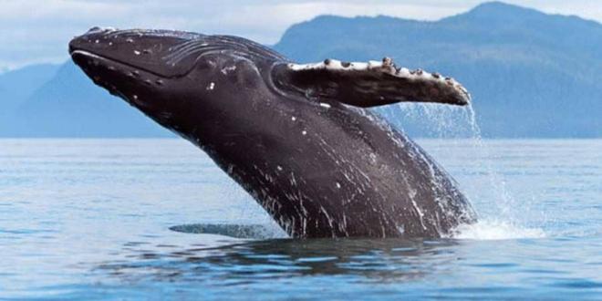أنواع الحيتان