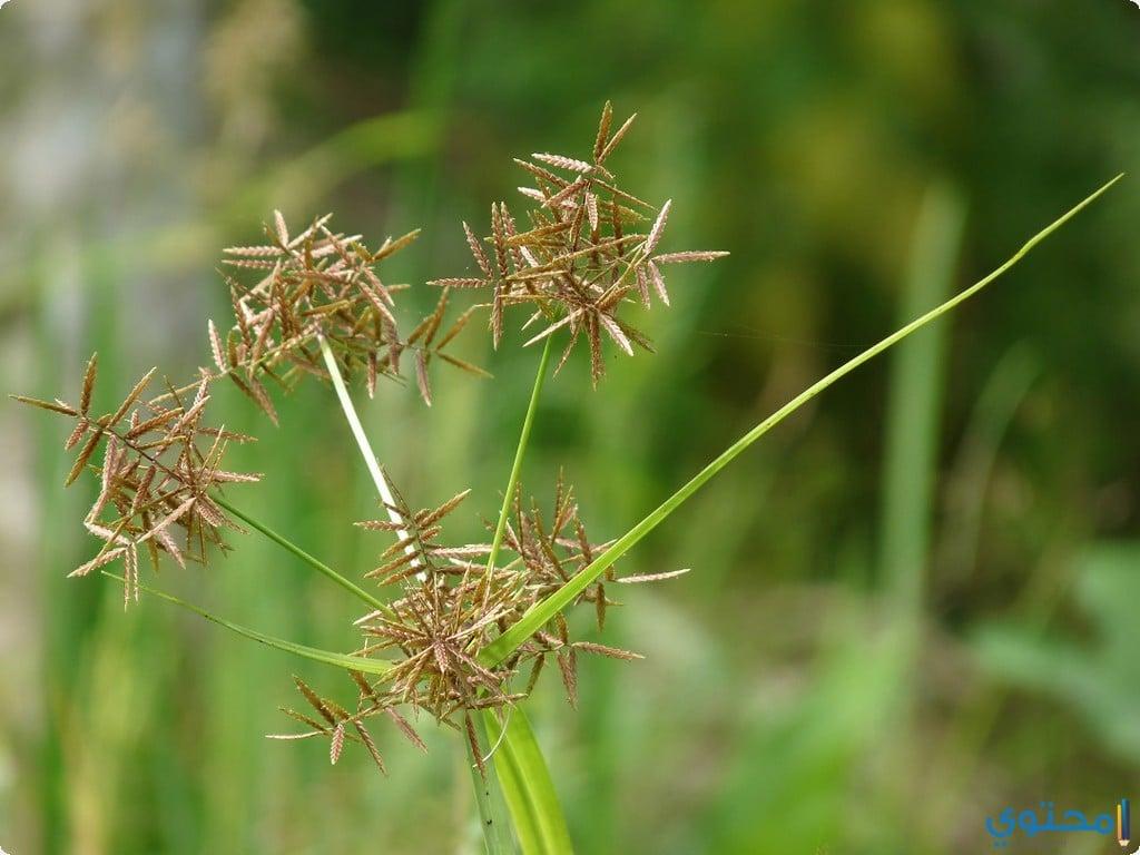 الفازلين ونبات السعد لإزالة الشعر