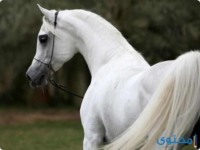 اجمل الخيول العربية الأصيلة