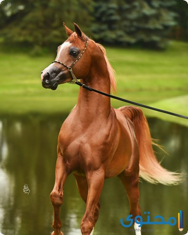 اجمل الخيول العربية
