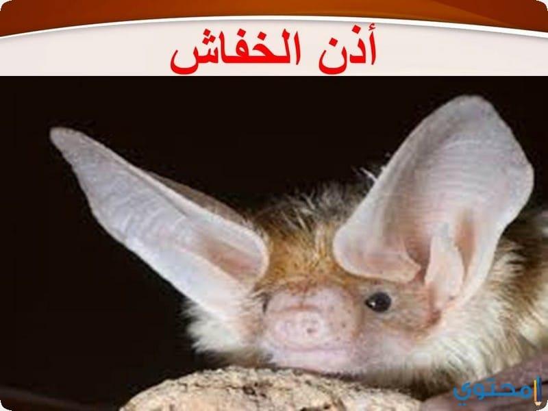 الخفافيش أذنين
