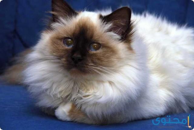 اسعار القطط الهيمالايا