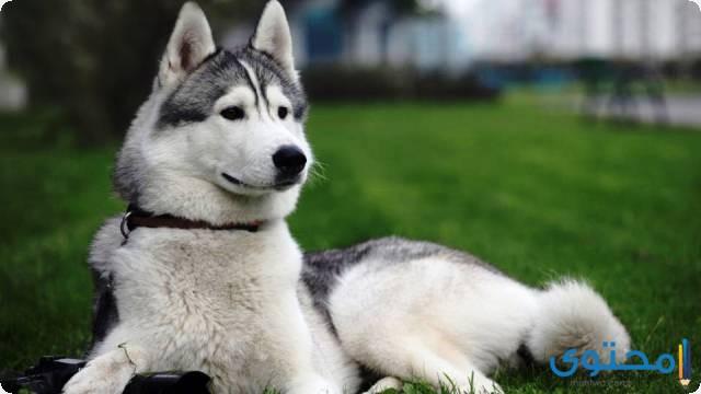 أسعار الكلاب الهاسكي الصغيرة والكبيرة 2021 - موقع محتوى