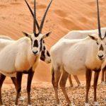 الحيوانات المهددة بالانقراض في السعودية