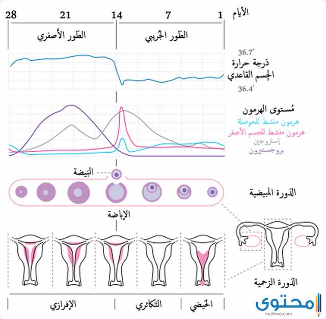 الدورة الشهرية عند المتزوجات