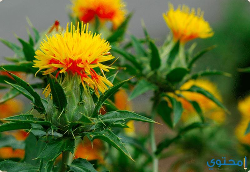 فوائد نبات العصفر للصحة وقيمته الغذائية - موقع محتوى