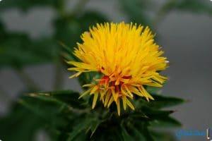 فوائد نبات العصفر للصحة وقيمته الغذائية