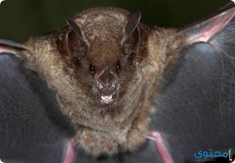 خفاش الفاكهة المصرية