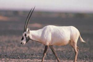 الحيوانات المهددة بالانقراض في المملكة اشهرها المها العربي