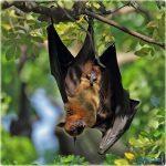 صور ومعلومات عن انواع الخفافيش