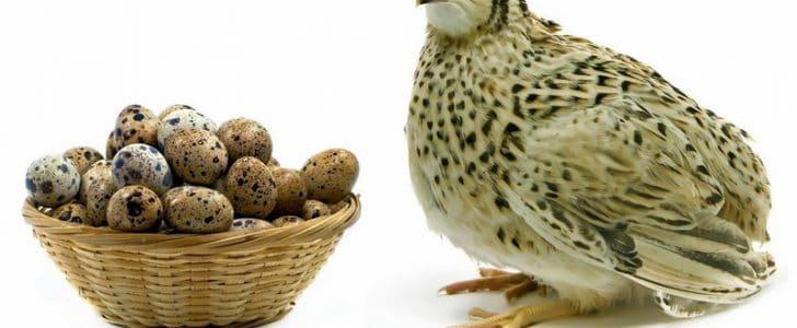 فوائد بيض السمان للصحة