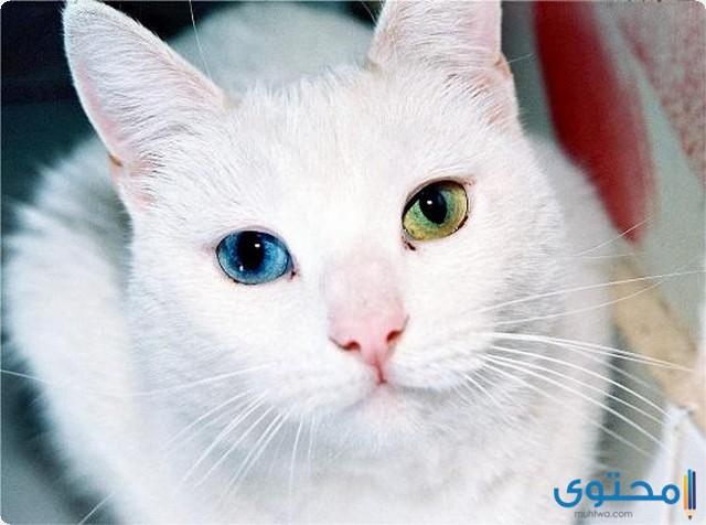 تعرف على أنواع القطط البيضاء2