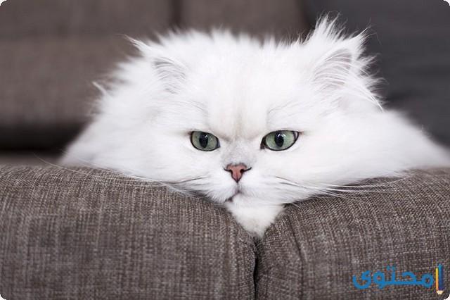 تعرف على أنواع القطط البيضاء