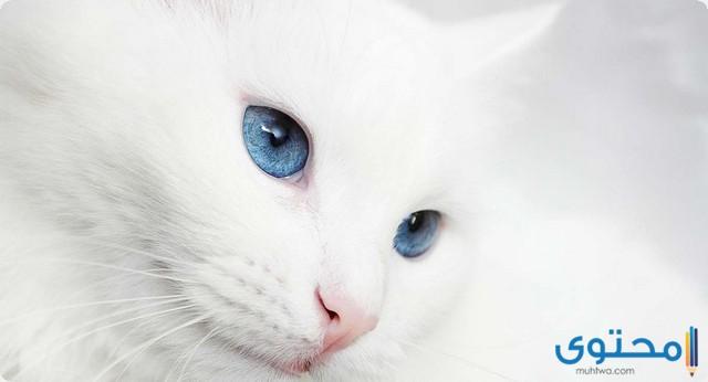أنواع القطط البيضاء