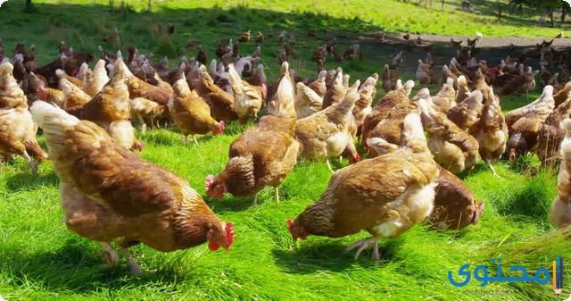 تربية الدجاج البلدي