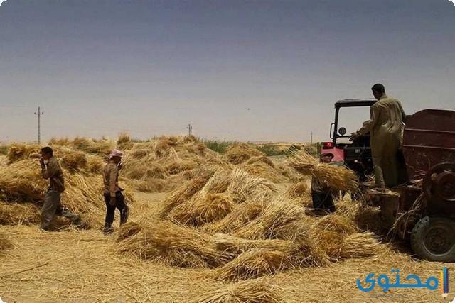 تفسير رؤية حصاد القمح