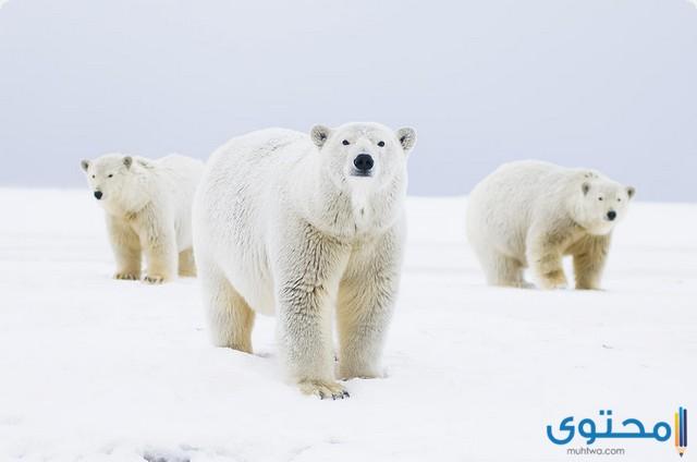 تكيف الدب القطبي للعيش في المناطق المتجمدة