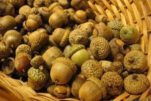 فوائد ثمرة البلوط للبشرة والصحة