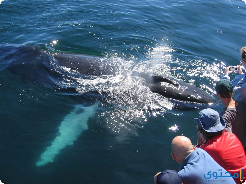 مشاهدة الحيتان الحدباء