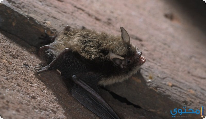 الخفاش جفرو