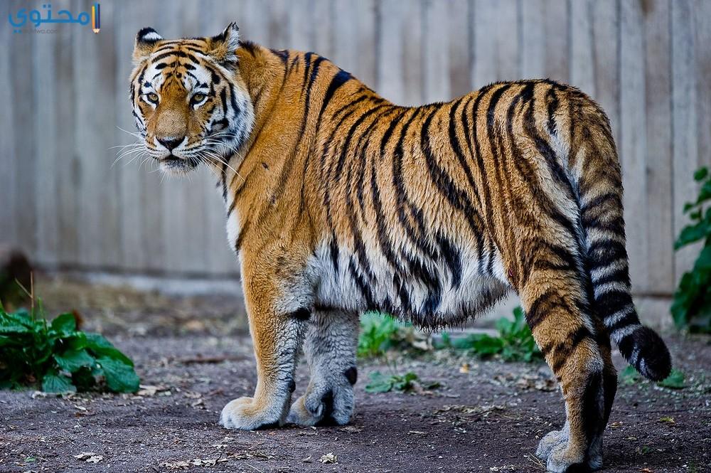 أجمل صور النمور