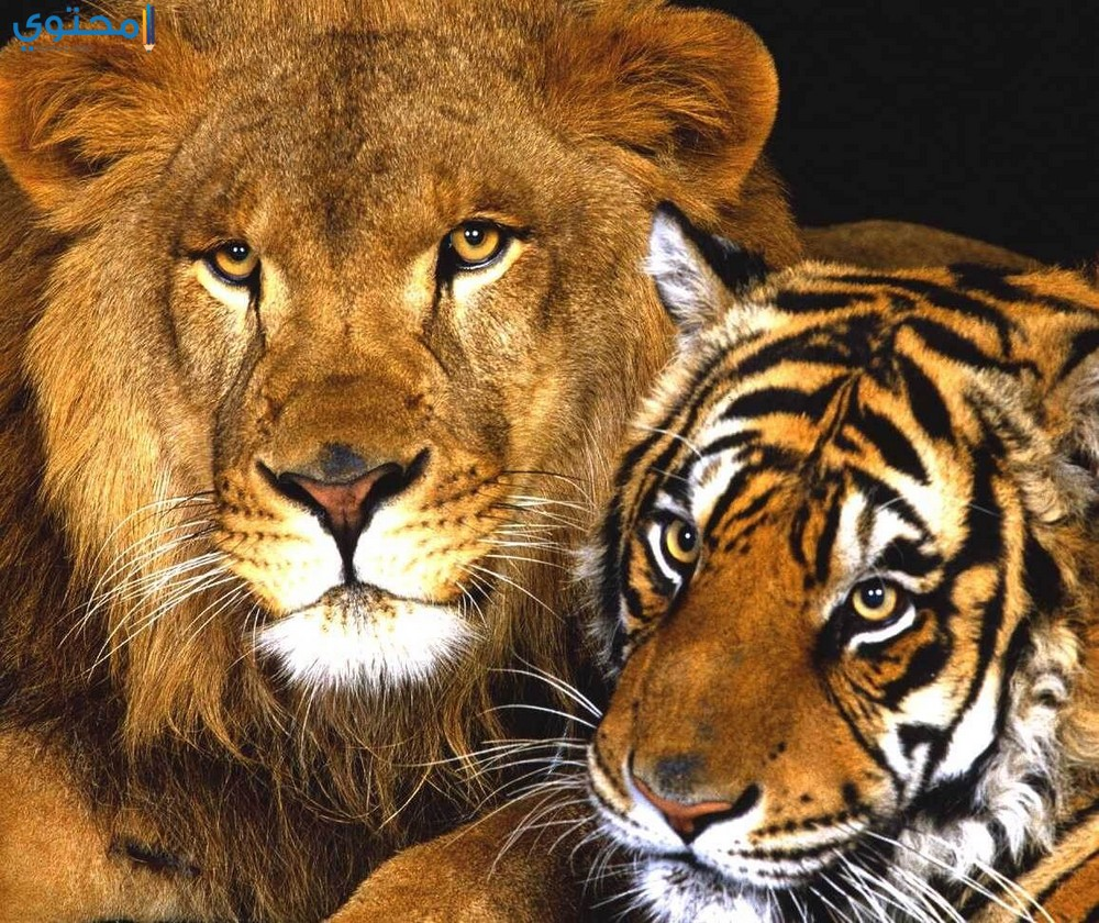أجمل الصور للأسود والنمور