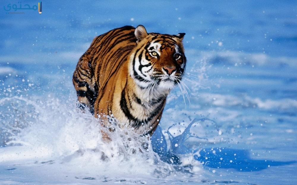 أجمل النمور في العالم