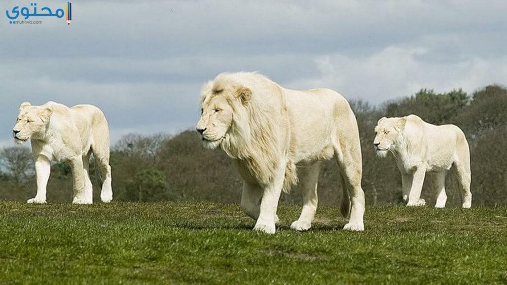 خلفيات أسد أبيض