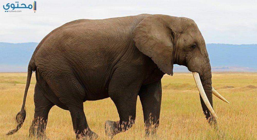 أحدث صور وخلفيات الفيلة