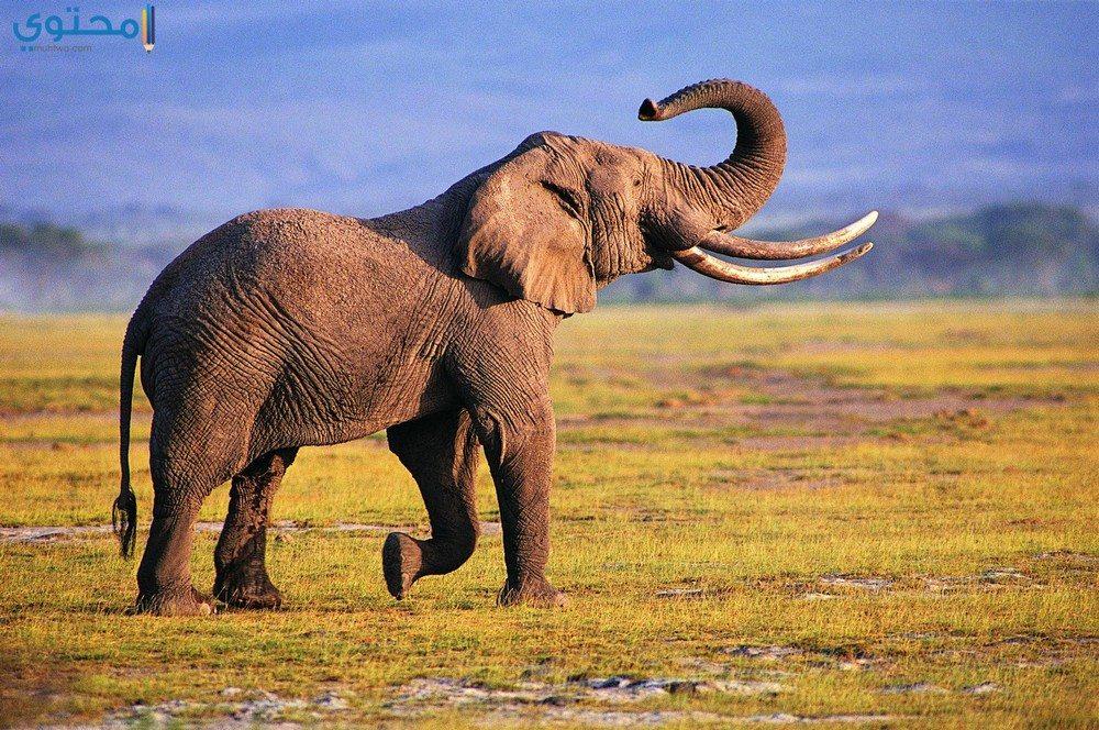 صور فيلة حديثة