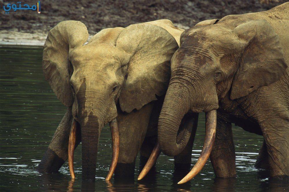 صور أفيال تحفة