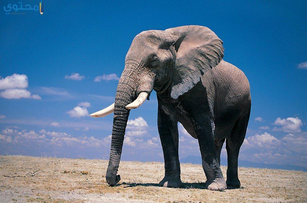 خلفيات عن الفيل
