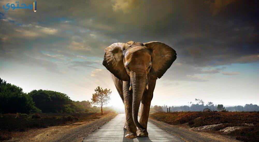 خلفيات الفيل للموبايل