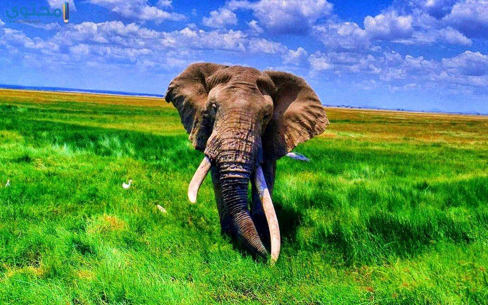صور وخلفيات أفيال