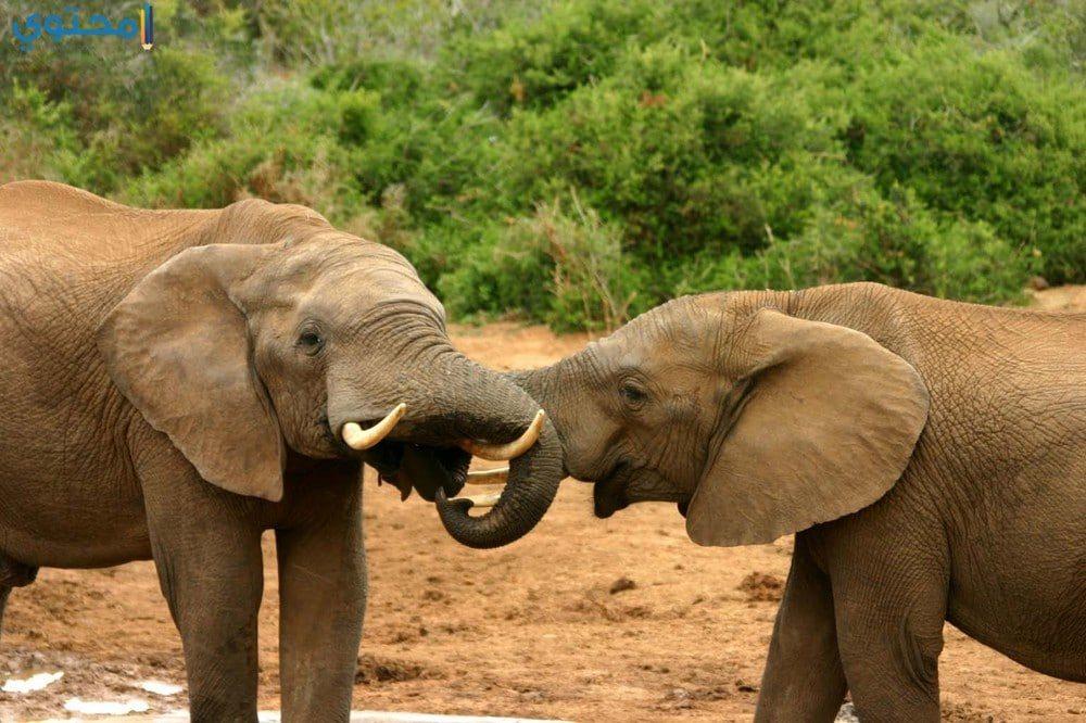 أروع صور فيلة