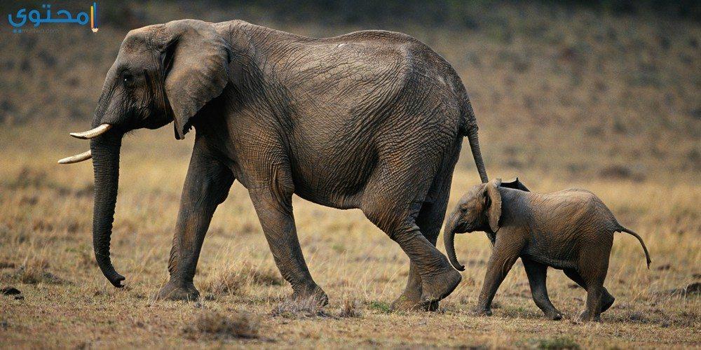 صور فيلة جديدة