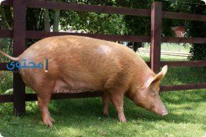 تفسير رؤية الخنزير فى الحلم بالتفصيل