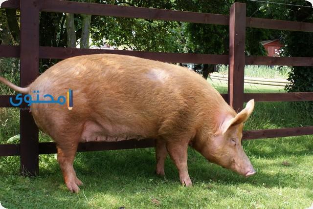 تفسير رؤية الخنزير فى الحلم بالتفصيل موقع محتوى