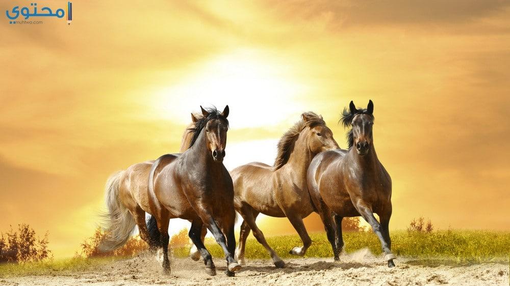 خلفيات وصور خيول عربية أصيلة