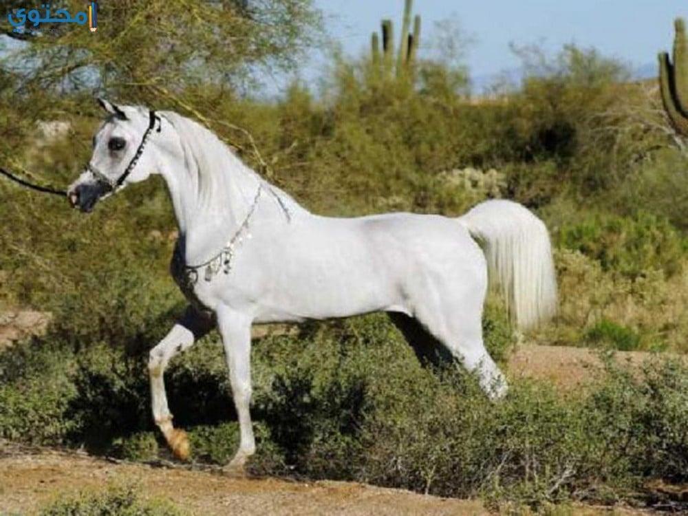 صور ورمزيات خيول عربية أصيلة