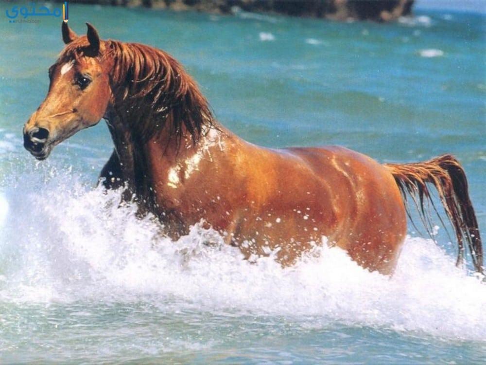 خيول عربية أصيلة