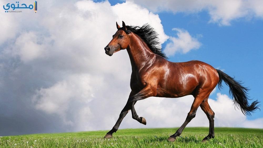 أحدث صور الخيول العربية الأصيلة