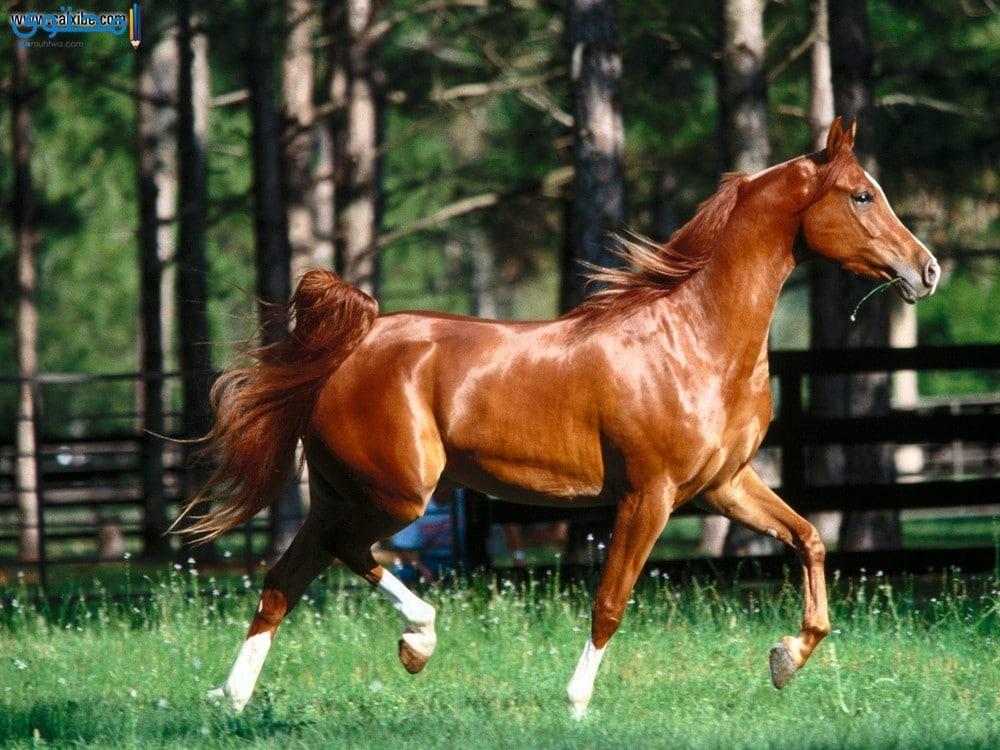 أجمل خيول عربية أصيلة2018